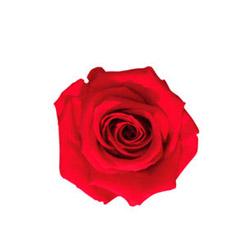 Rosa Medium - Verdissimo