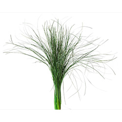 Bear Grass preservado - Verdissimo
