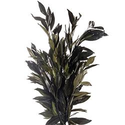 Cocolus preservado - Verdissimo