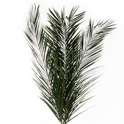 Hojas de palmeras preservadas - Verdissimo
