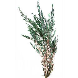 Lepto Lungifolia preservado - Verdissimo