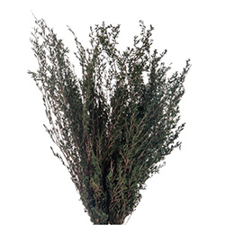 Lepto Myrtifolia Preservado - Verdissimo