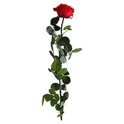 Premium Rose mit Stängel - Verdissimo