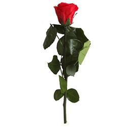 Rose mit Mini-Stängel - Verdissimo