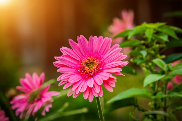 Daisy - National Flower Emblem of Italy