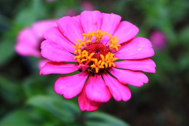 May Flower - National Flower Emblem of Venezuela