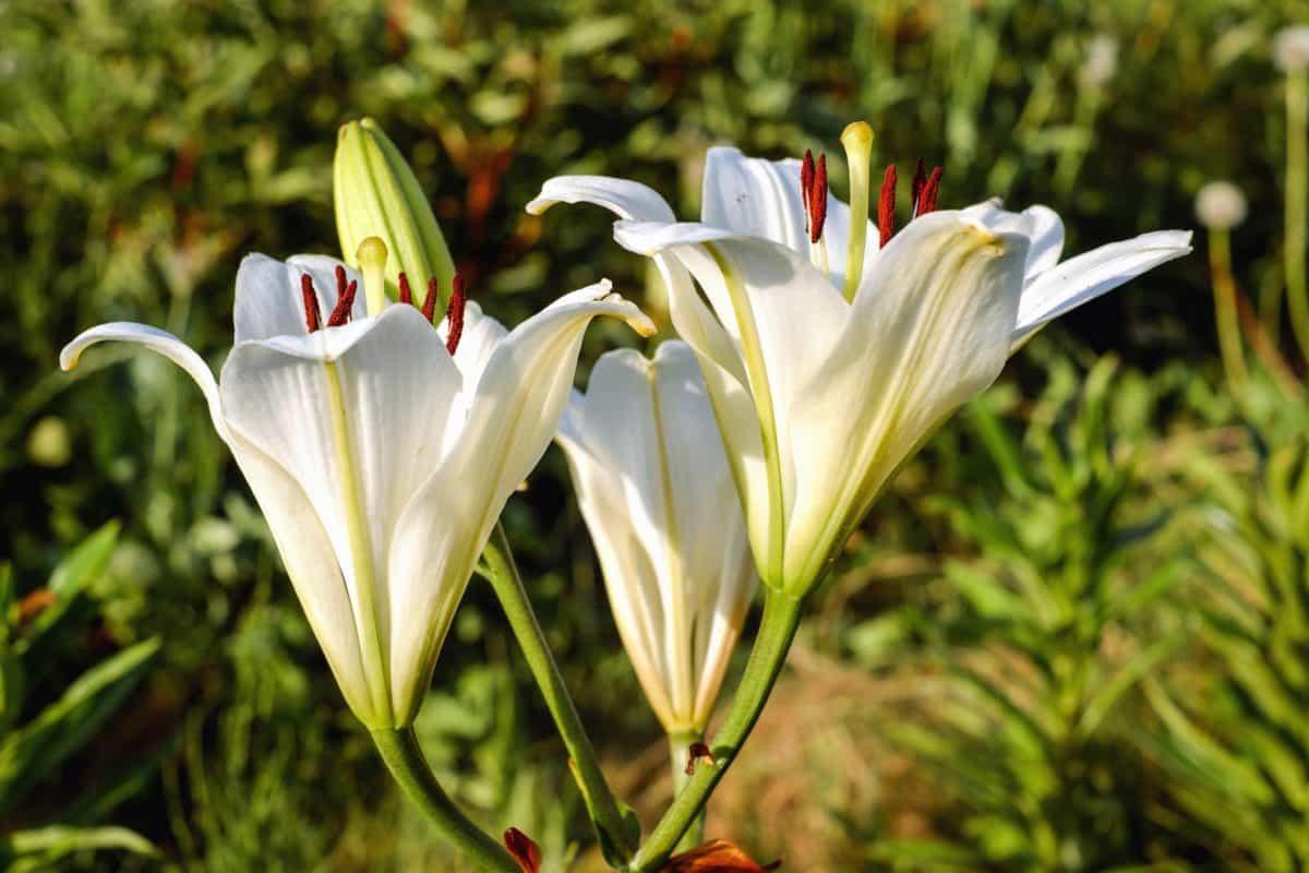 Fleur de Lis - National Flower Emblem of France