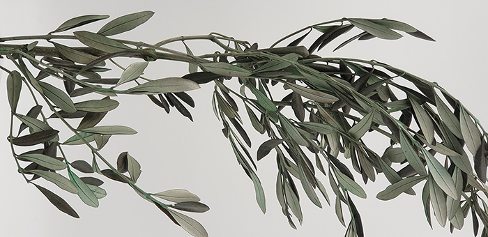 tige olivier stabilisé - Verdissimo