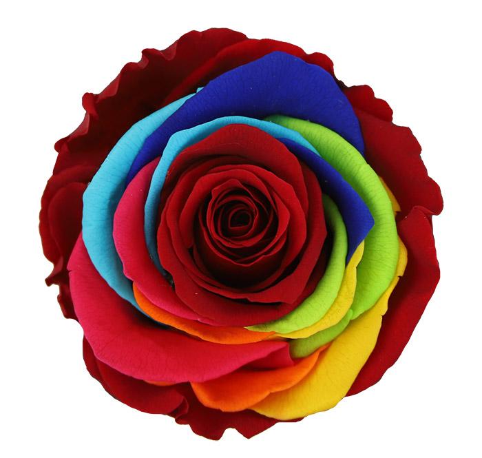 Rosa Arcoiris - Flor - Verdissimo